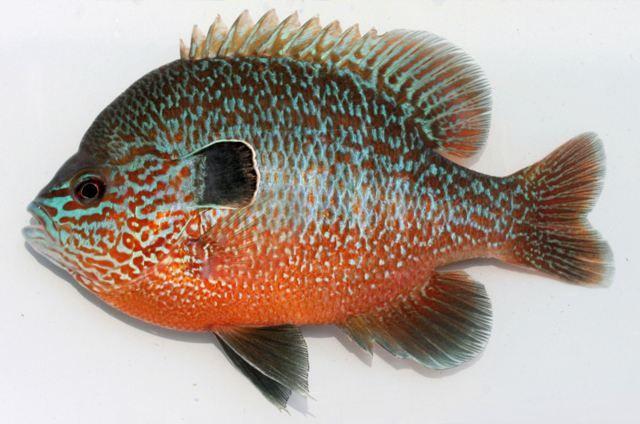 Longear sunfish lee 39 s table rock lake and fish pics for Ohio state fish