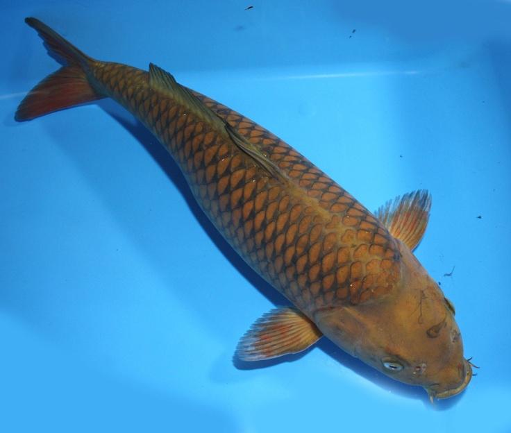 20 chagoi from koibay for Female koi fish