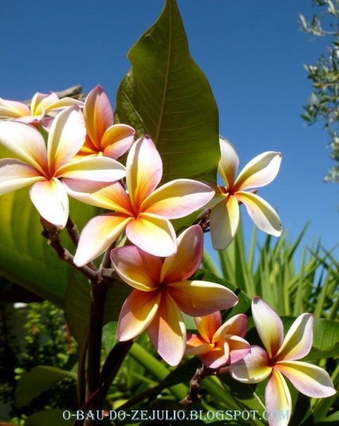 flores para jardim verao : flores para jardim verao:Plumeria, flor de verão