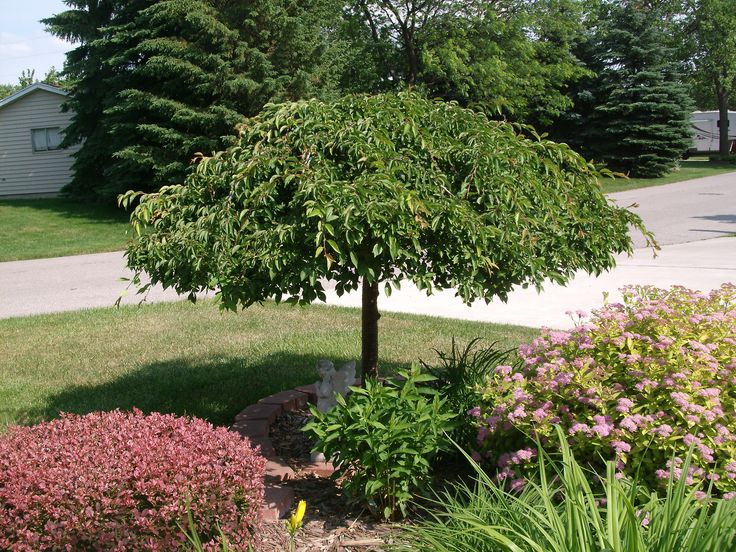 Pin by kit carnes on backyard oasis pinterest for Best dwarf trees for front yard