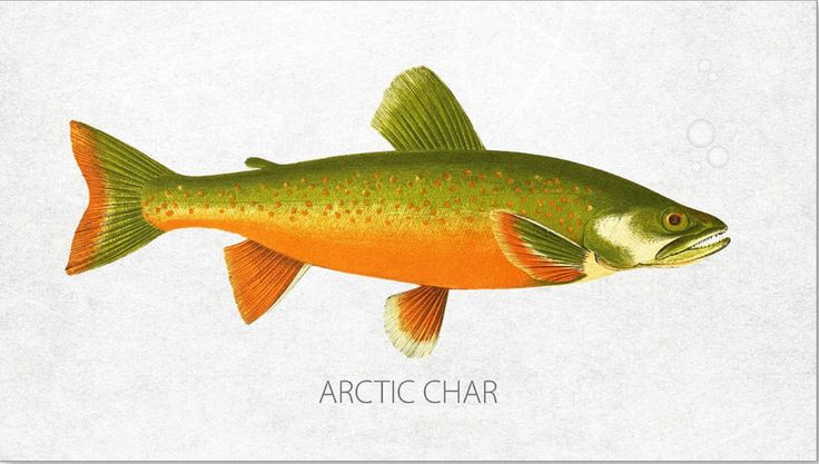 Arctic char or arctic charr salvelinus alpinus is a cold for Cold freshwater fish