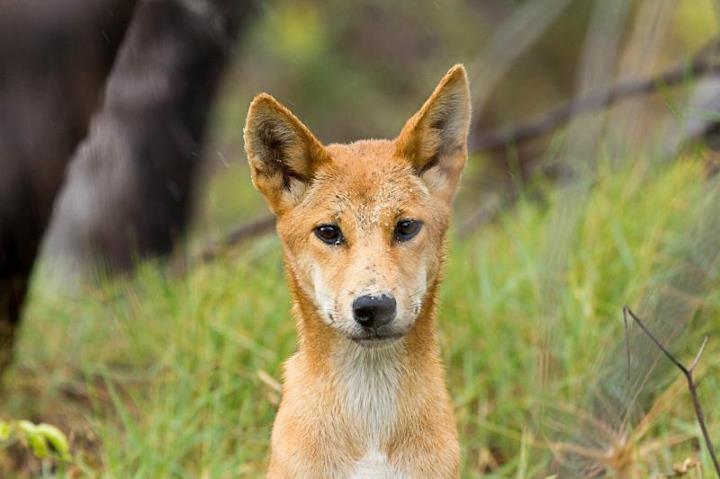 dingo essay Unlike most editing & proofreading services, we edit for everything: grammar, spelling, punctuation, idea flow, sentence structure, & more get started now.