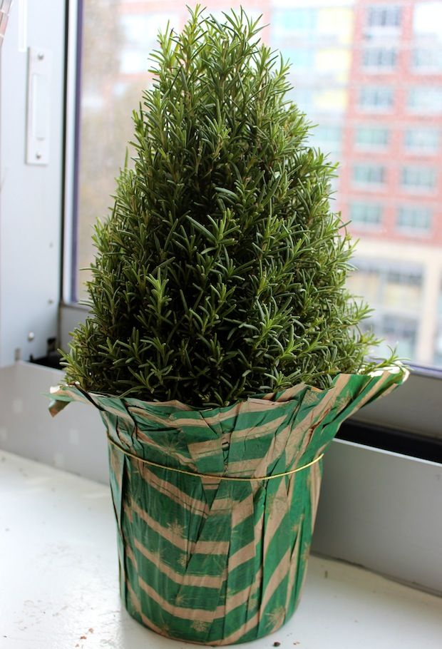 "Rosemary ""Mini-Christmas Tree"" Plants"