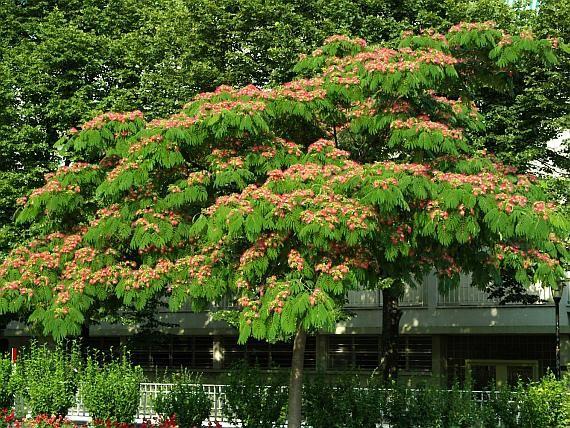 Albizia julibrissin   Trees   Pinterest