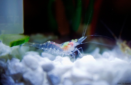 Ghost Shrimp Animals Pinterest