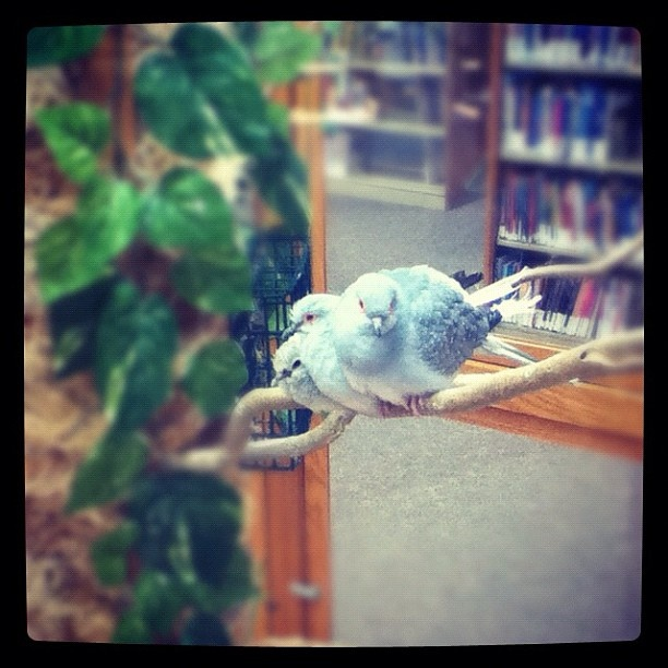 Our new baby Diamond Dove on the left loves being read to in Youth Services.
