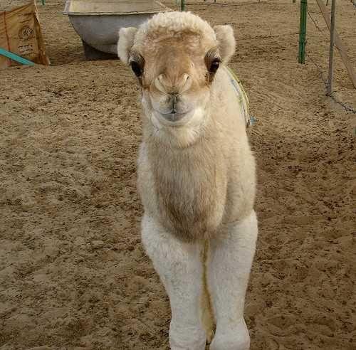 Adorable camel | Etsy
