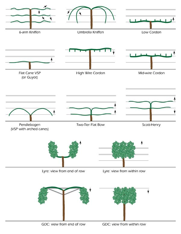 Grapevine training the vineyard pinterest - How to prune and train the grapevine ...