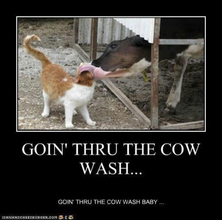 Funny cow jokes - photo#20