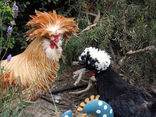 Polish Chicken Breed | Country Living | Pinterest: pinterest.com/pin/436286282625535631