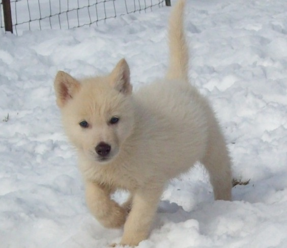Image result for artic wolf puppies