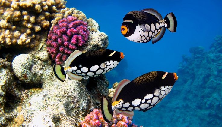 Pin by nicole debella kessner on tropical fish pinterest for Exotic saltwater fish