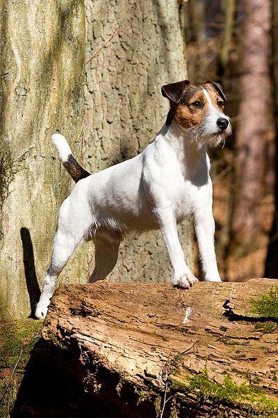 Le Parson Russell Terrier A026f2c3d7c4729467990415c632e184