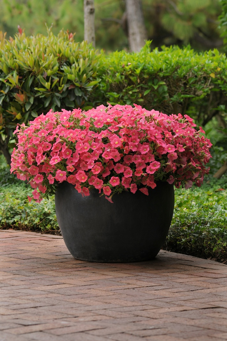 Pink wave rave petunias container gardening pinterest - Wave petunias in containers ...