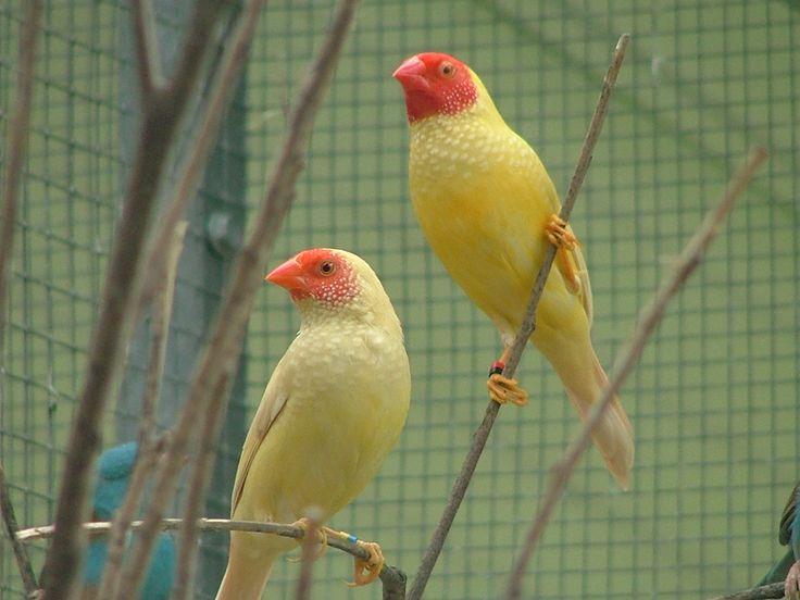 Yellow star finch - photo#1