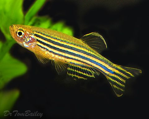 danio zebra fish Freshwater Aquarium Fishes & Plants Pinterest
