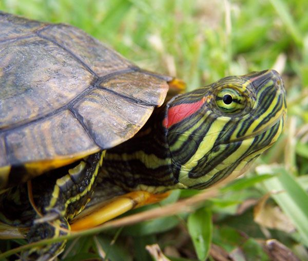 ... old -- need a new one now, Sheldon perhaps? -- red eared slider turtle