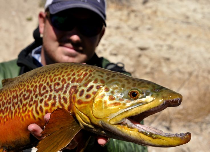 Tiger trout tiger trout pinterest for Trout fishing utah