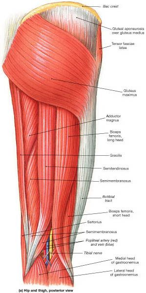 Hip anatomy tendons