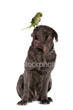 green parrot sitting on the nose of a Neopolitan mastiff Royalty Free Stock Photo