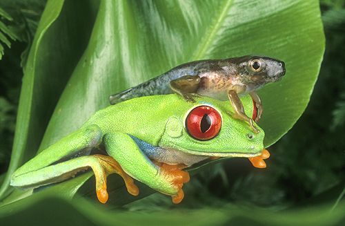 Red Eyed Tree Frog Adult And Tadpole  Costa RicaRed Eyed Tree Frog Tadpole
