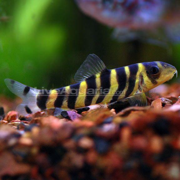 Botia dario Fish Ideas Pinterest