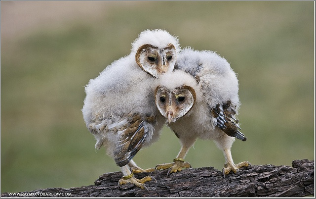 Baby barn owl images - photo#18
