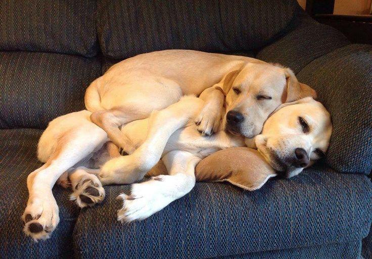 Couch potatoes   Labrador Retriever (Yellow)   Pinterest