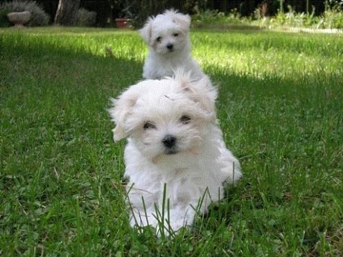 Regalo cachorros de bichon maltes