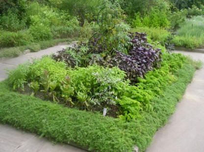 I love the idea of a low, dense growing border with rows of herbs inside.