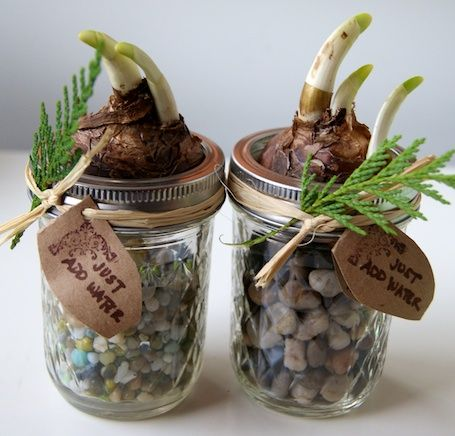 diy paperwhites - Because paperwhites don't require chilling in order to bloom and can grow without soil...Just fill the jar 3/4 full with stones, add the bulb, and secure with the jar-top