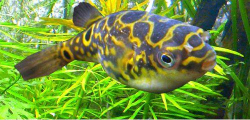 Pin by Fish Pets on Ornametal Fish Pinterest