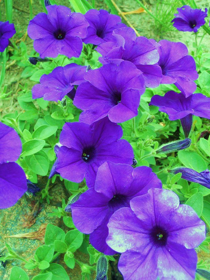Purple wave petunia | My Flower Gardens | Pinterest
