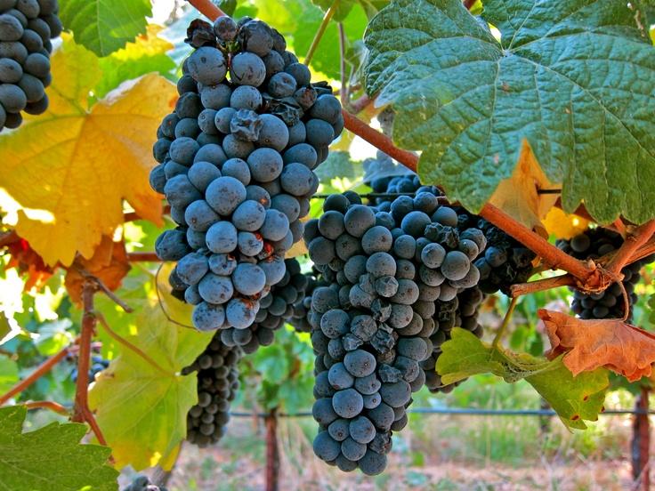 Schwarzriesling  a k a  Pinot Meunier  Mokelumne Glen Vineyards    Pinot Noir Grape Vines