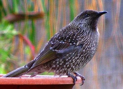Little Brush Wattle Bird > Australia | Birds and more Birds | Pintere ...