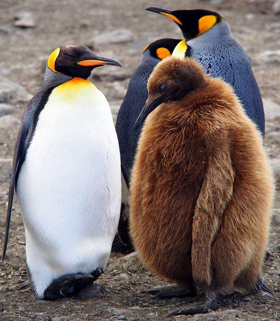 Pingvini A15a324da45a9fea5c4e16ad1e509914