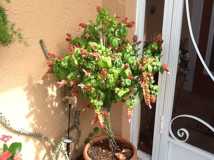 Buy now apartmenttherapy - My Shrimp Plant Tree Outside Pinterest