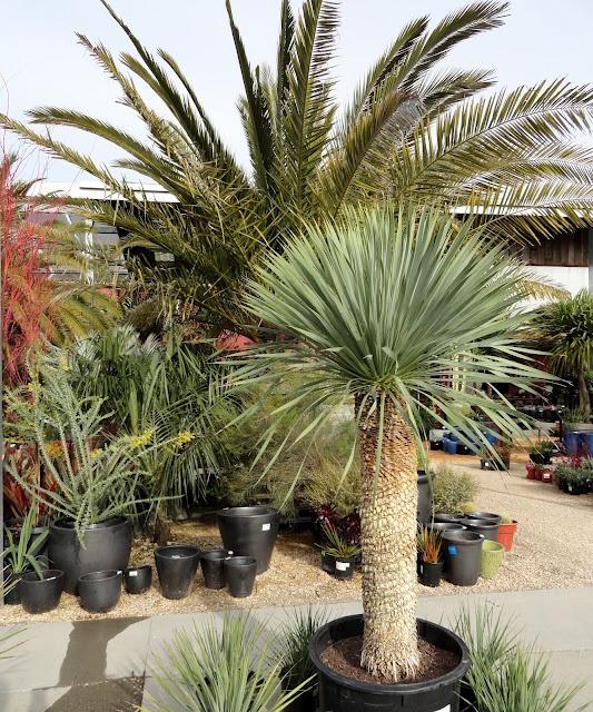 Yucca rostrata at Flora Grubb