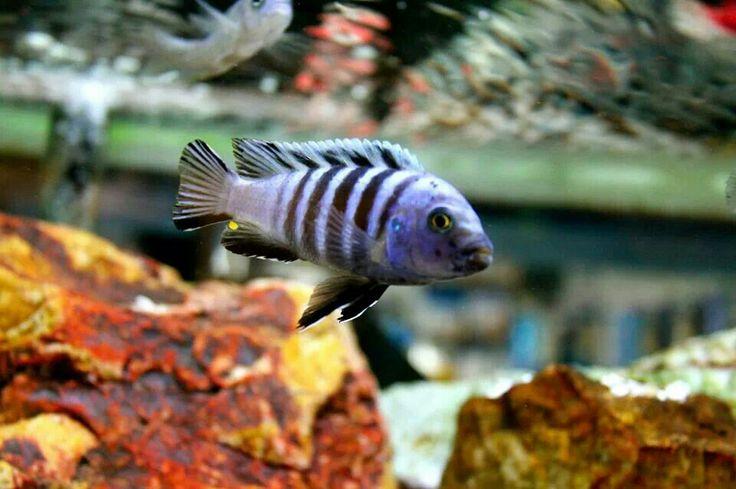 Clown Afra 7SEAS TROPICAL FISH SAN PEDRO,CALIFORNIA Pinterest