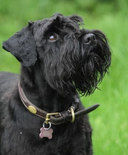 Black Dog Risen
