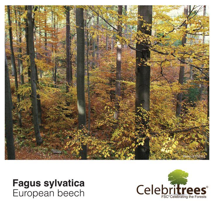 Backyard Forest Stewardship : Fagus sylvatica  Nature & Travel  Pinterest