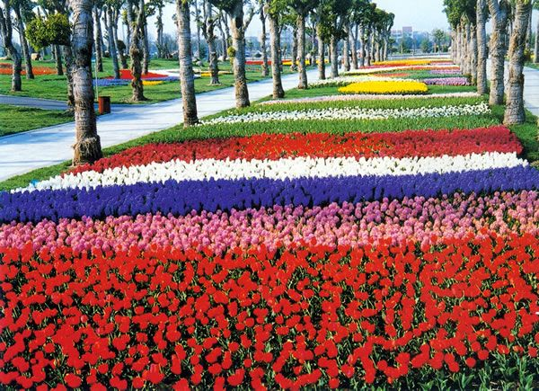 Tulips at the Shanghai Flower Port