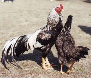 声良鶏(コエヨシ) | Poules | Pinterest | Chicken breeds, Livestock and Animal