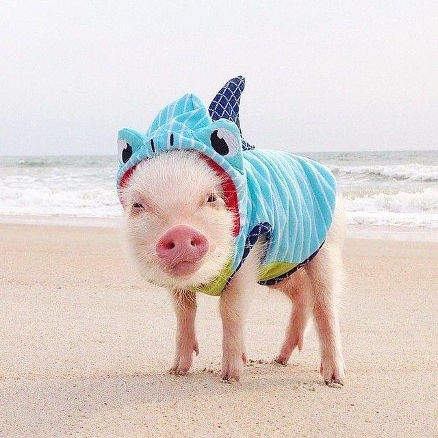 Did you celebrate #sharkweek? #PrissyPig sports the #marthastewartpets #shark hoodie effortlessly.