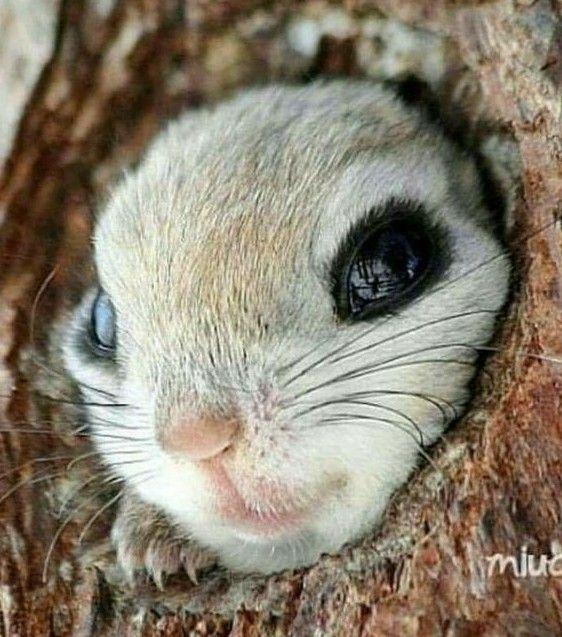 Cute flying squirrel baby