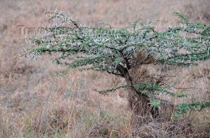 Thorn Tree In The Grass Plains All Things Kenyan Pinterest