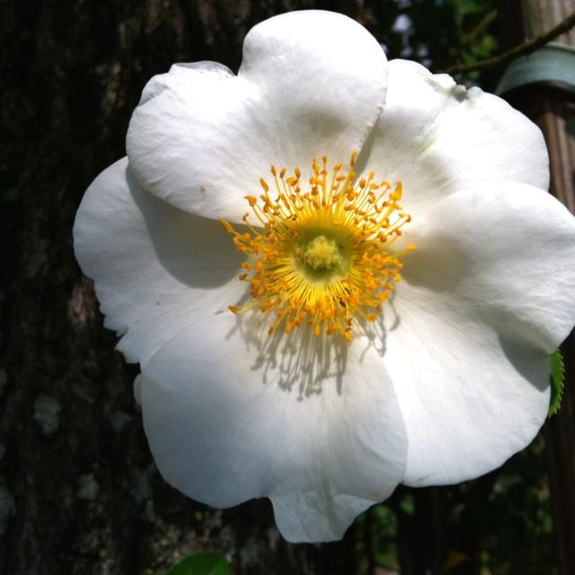 Cherokee rose my style pinterest for Cherokee rose
