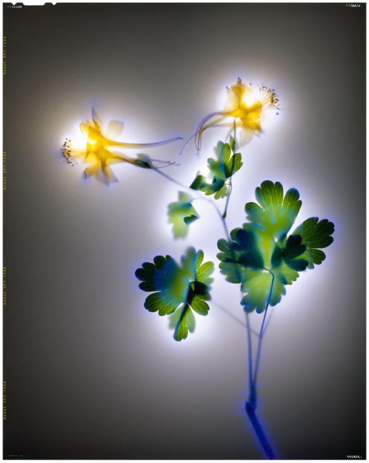 A different way to view nature in photography...Golden Columbine by Robert Buelteman