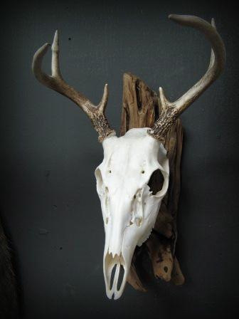 European skull mount skull pinterest