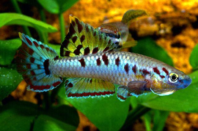 Aphyosemion Bivittatum Killifish Fish Pinterest